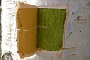 Birkenkork-Extrakt wird aus der äußeren, weißen Schicht des Baumes hergestellt. © Armin Scheffler